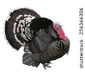 Turkey For Thanksgiving. Hand...