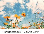 beautiful cosmos blooming in... | Shutterstock . vector #256452244