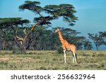 savanna landscape with ugandan...   Shutterstock . vector #256632964