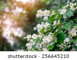 Jasmine Spring Flowers With...