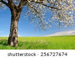 Blooming Cherry Tree On Meadow...