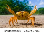 Stock photo yellow land crab cuba 256752703