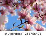 View Of Beautiful Magnolia Wit...
