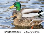 Mallard Duck Mates Swimming...