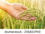 hand touching rice in a paddy... | Shutterstock . vector #256821943