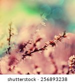 flowers of the cherry blossoms... | Shutterstock . vector #256893238
