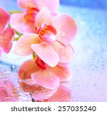 beautiful blooming orchid on... | Shutterstock . vector #257035240