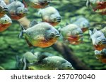 Flock Of Piranhas Swim Nature...
