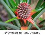 A Baby Red Pineapple In The Farm