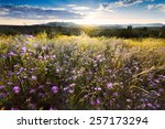Purple Asters Buffeted By High...