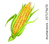 corncob vector illustration ... | Shutterstock .eps vector #257175670