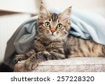 Stock photo maine coon kitten on the chair 257228320