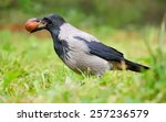 Hooded Crow With A Nut