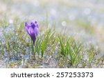 First Spring Crocus Flower In...