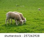 Spring Lambs Graze In A Green...