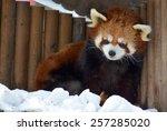 The Red Panda  Ailurus Fulgens...