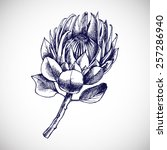 Protea. Hand Drawn Vector...
