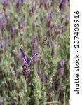 flowers of spanish lavender ... | Shutterstock . vector #257403916