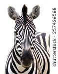 Zebra Portrait Isolated On A...