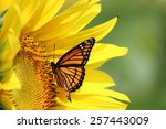 Stock photo monarch on a sunflower 257443009