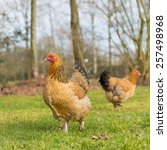 Small photo of Brahma chickens outdoor in the grass pastures