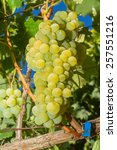 vines with juicy ripe white... | Shutterstock . vector #257551216