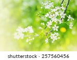 cherry blossoms over blurred... | Shutterstock . vector #257560456
