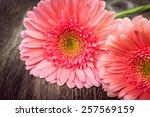 pink daisy gerbera flowers  on...