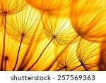 Dandelion Seed In Golden...