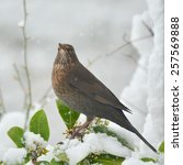 Female European Blackbird  ...