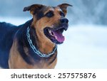 funny dog in the snow | Shutterstock . vector #257575876