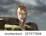 Lion Stood On Outcrop Of Rock...