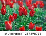 red tulips on the field | Shutterstock . vector #257598796