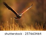 Flying Bird Of Prey   Harris  ...