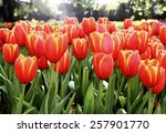Orange Tulips  Vintage In...