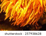 Anemone With Tentacles.  Orang...