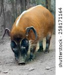 The Red River Hog Potamochoeru...