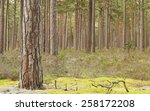 Natural Pine Forest  Important...