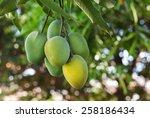 Bunch Of Green Ripe Mango On...