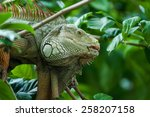 Close Up Green Iguana On Tree.