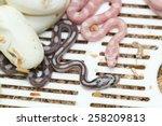 Corn Snake Hatching