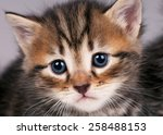 Stock photo sad small siberian kitten over grey background close up 258488153