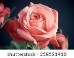 Princess Of Infinity  Rose