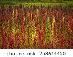 quinoa plantations in... | Shutterstock . vector #258614450