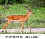 Impala Ram In Serengeti...