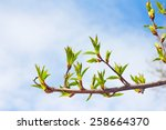 Twig With Spring Buds On Blue...