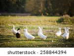 Several White Domestic Ducks O...