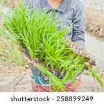 rice seedlings in the cultivated | Shutterstock . vector #258899249
