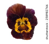Brown Pansy With Dew Drops...
