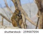 Guinea Baboon Picking Its Teet...